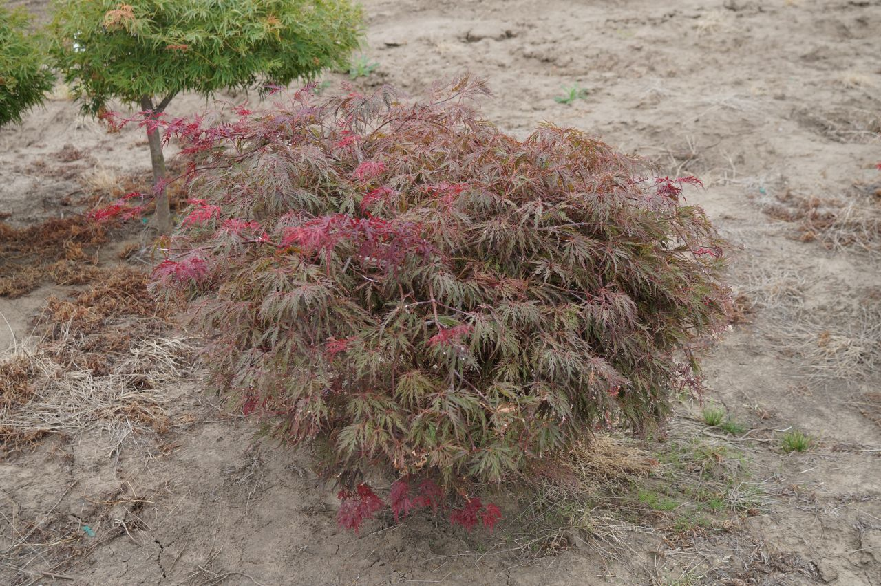 Kg Farms Inc Acer Palmatum Dissectum Red Select