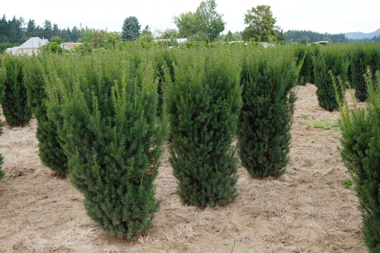 kg farms inc taxus x media hicksii. Black Bedroom Furniture Sets. Home Design Ideas