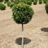 Buxus x 'Green Mountain ' STD